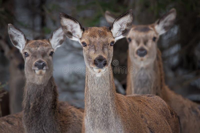 Stor trio: Tre nyfikna kvinnlig av cervidaen för röda hjortar, cervusen Elaphus ser direkt på dig, selektiv fokus på royaltyfri bild