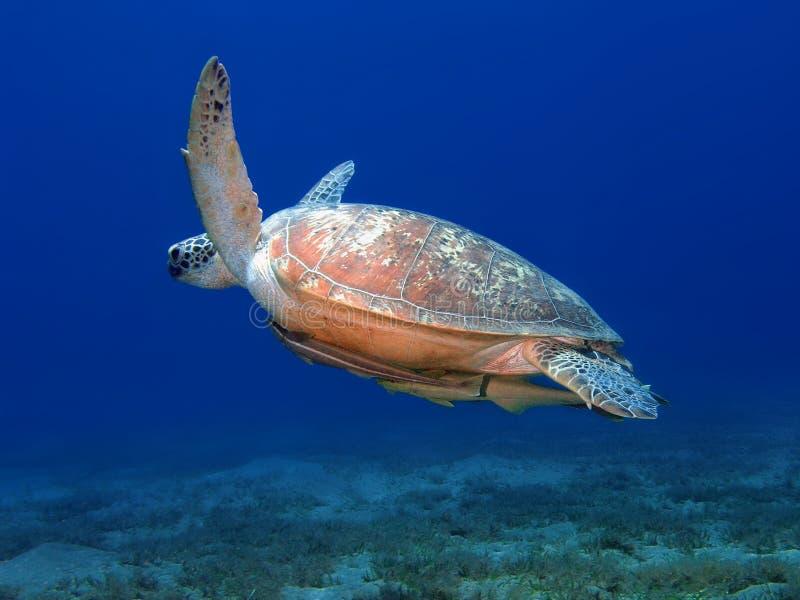 stor undervattens- havssimningsköldpadda royaltyfri fotografi