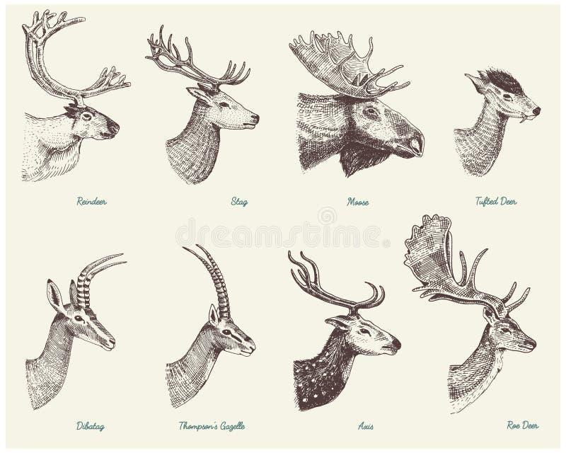 Stor uppsättning av hornet, horn på kronhjortdjur älg eller älg med impalan, gasell och större kudu, dovhjortren och fullvuxen ha vektor illustrationer