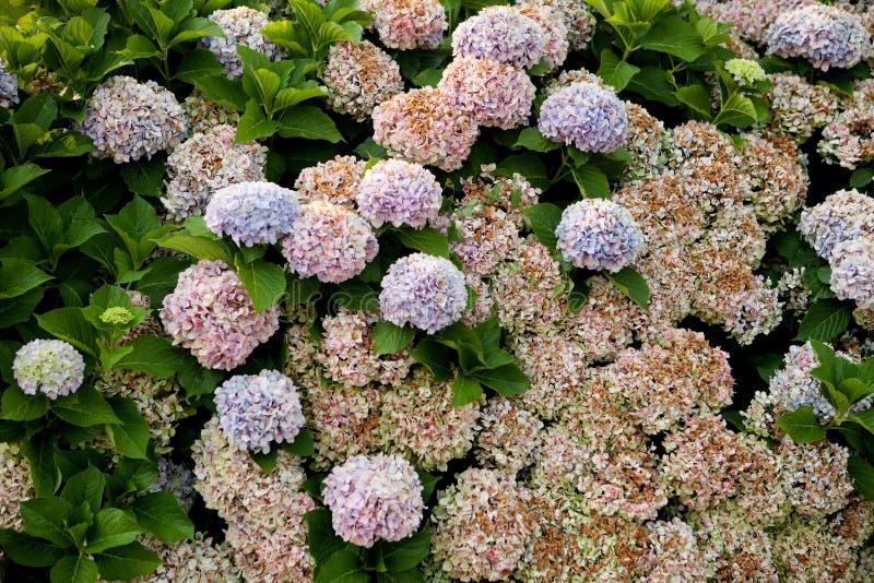 Stor vanlig hortensiaväxt royaltyfri bild