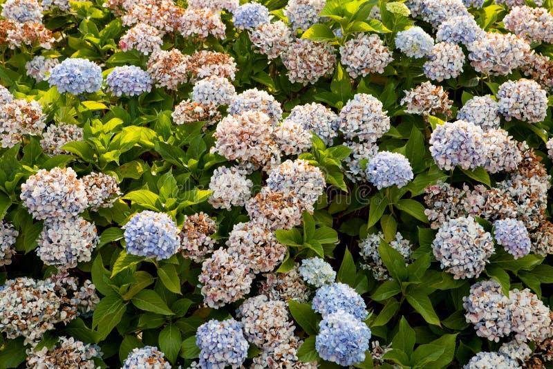 Stor vanlig hortensiaväxt fotografering för bildbyråer