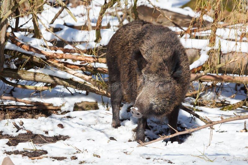 Stor vildsvinsugga fotografering för bildbyråer