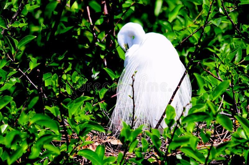 Stor vit ägretthägerfågel som putsar dess avelfjäderdräkt royaltyfri bild
