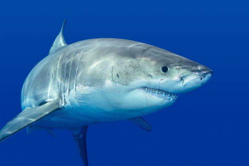 Stor vit haj fotografering för bildbyråer