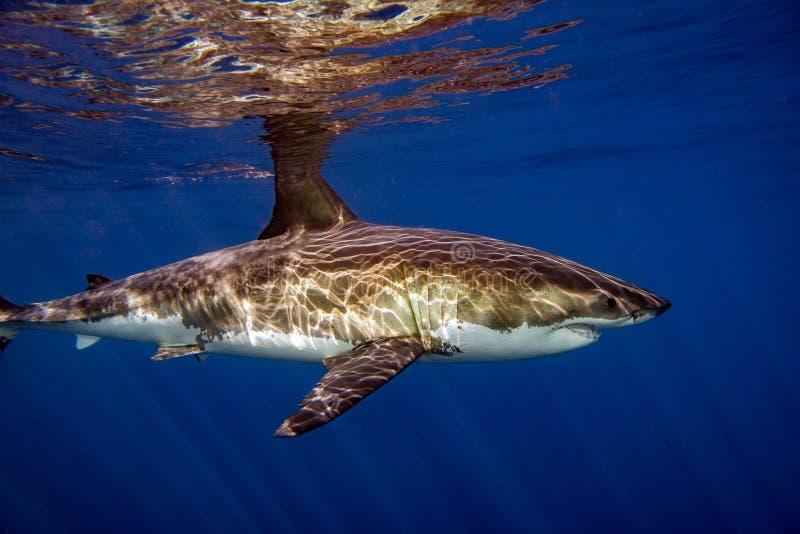 Stor vit haj som är klar att anfalla royaltyfri fotografi