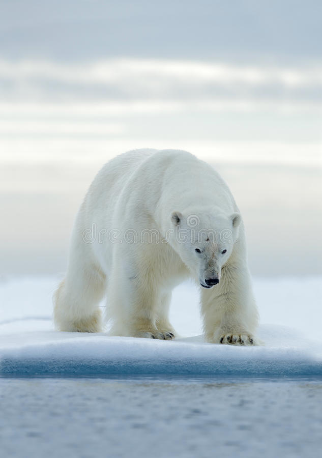 Stor vit isbjörn, på drivais med snö, Svalbard, Norge royaltyfri foto