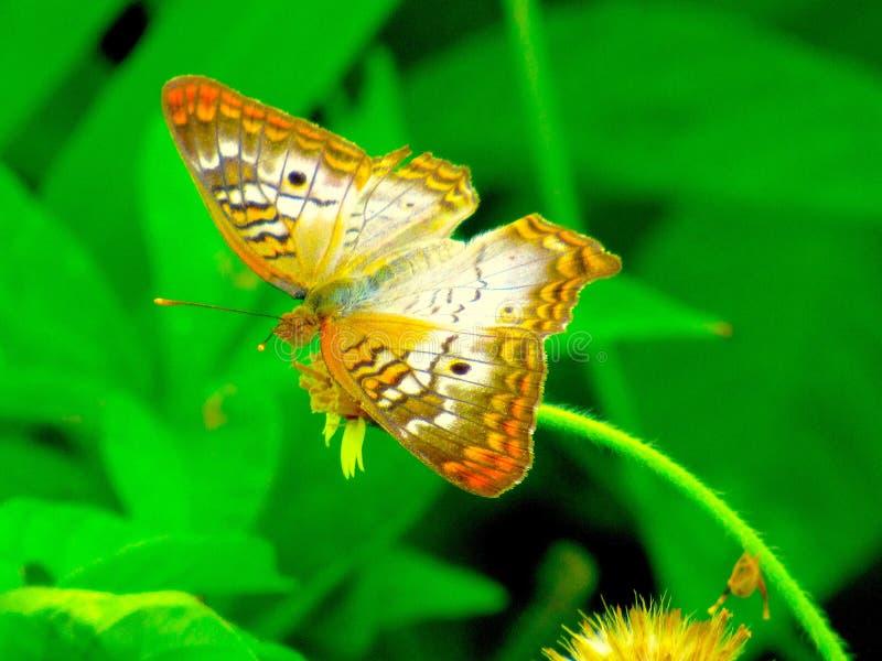 Stor vit monarkfjäril som vilar på en mycket liten blomma arkivbild