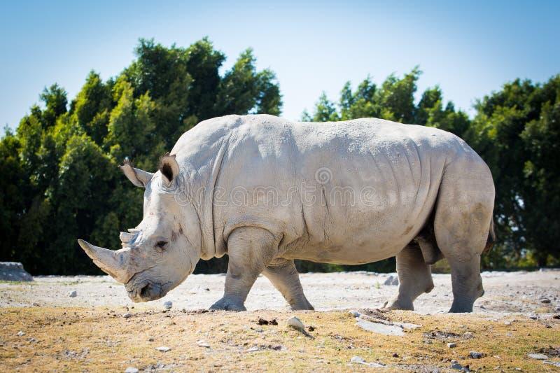 Stor vit noshörning på jordningen royaltyfri fotografi