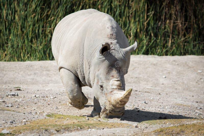 Stor vit noshörning på jordningen royaltyfria foton