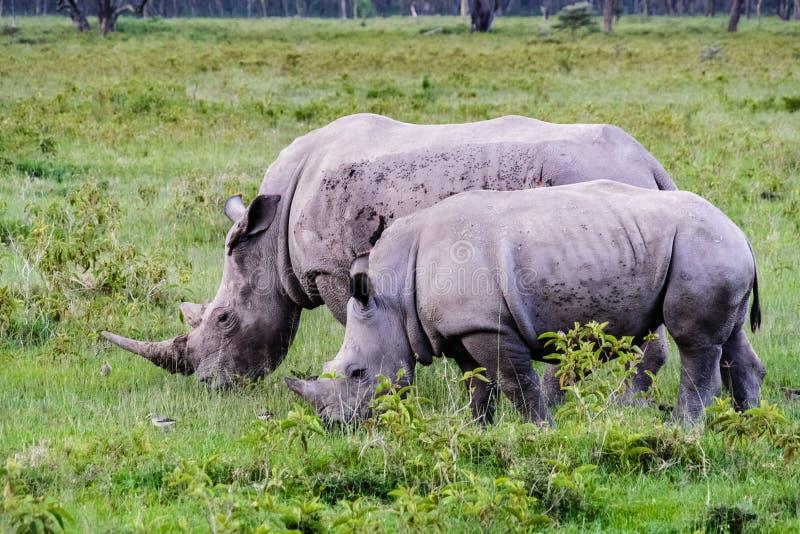 Stor vit noshörning två Nakuru Kenya fotografering för bildbyråer
