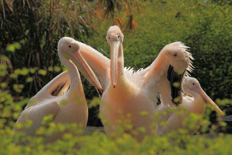 Stor vit pelikan fotografering för bildbyråer