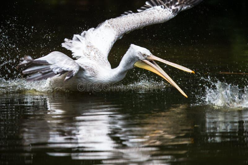 Stor vit pelikan också som är bekant som den östliga vita pelikan fotografering för bildbyråer