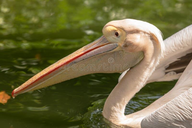 Stor vit pelikan, Pelecanusonocrotalus som simmar i dammet arkivbilder