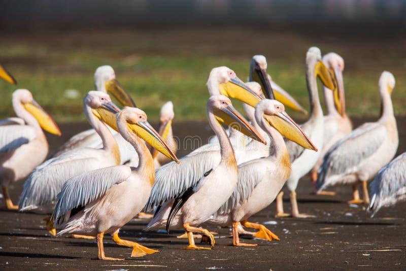 Stor vit pelikan (Pelecanusonocrotalus) som vilar och att sova och att putsa arkivbild