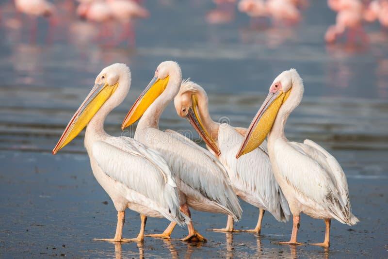 Stor vit pelikan (Pelecanusonocrotalusen) som vilar och att sova och att putsa, arkivfoto