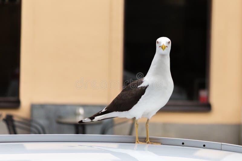 Stor vit Seagull på biltaket som ser kameran royaltyfria bilder