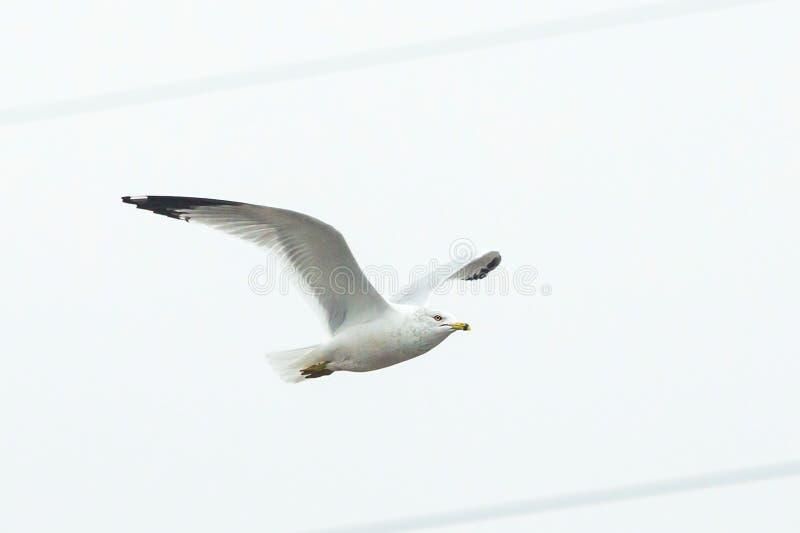 Stor vit seagull som solo bara flyger fotografering för bildbyråer