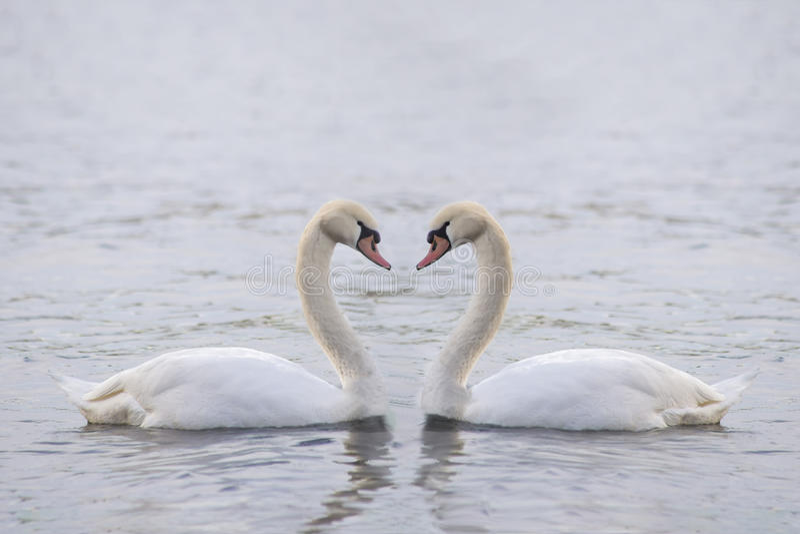 Stor vit svan två på vattnet royaltyfri fotografi