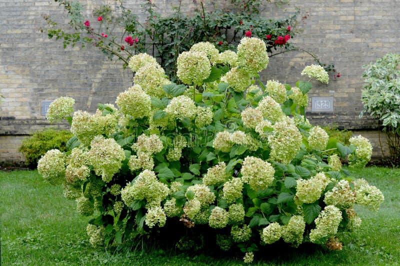Stor vit vanlig hortensia Bush royaltyfri fotografi