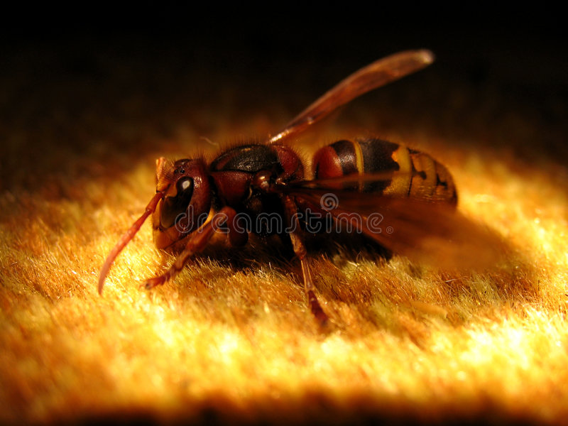 stor wasp royaltyfri fotografi