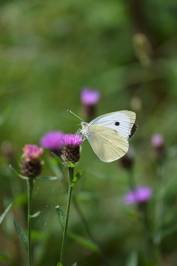 stor white för fjäril royaltyfri fotografi