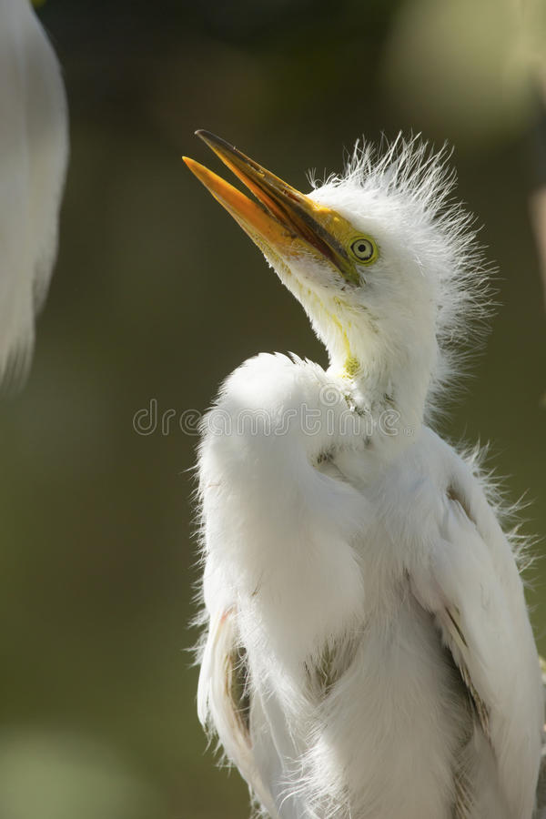 Stora ägretthägerfågelungar i ett rede på en råkkoloni i Florida royaltyfri bild