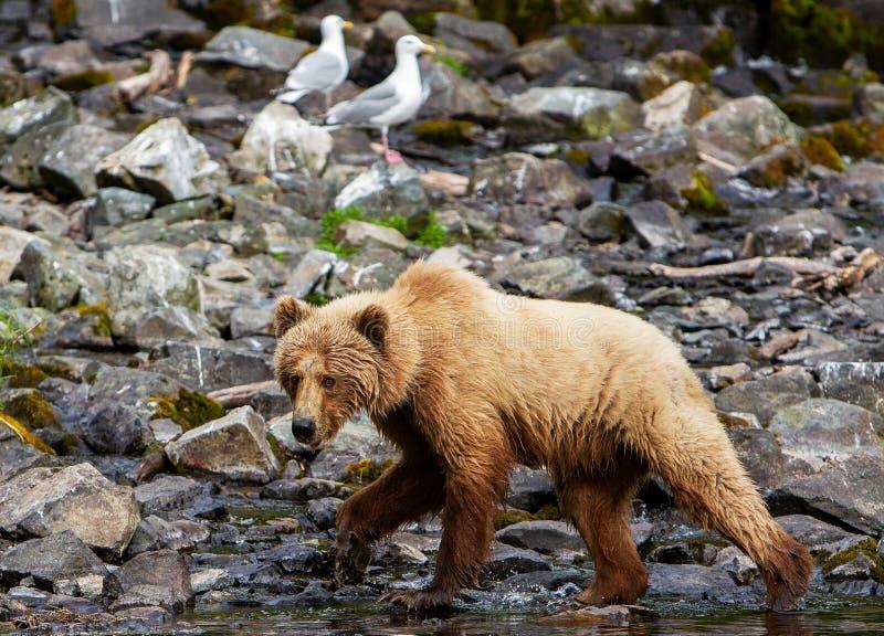 Stora arctos för en brunbjörnUrsus på kusten av skans sjön i den alaskabo vildmarken royaltyfri foto