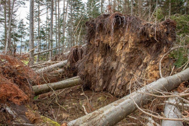 Stora barrträdträd ryckte upp i en skog royaltyfria foton