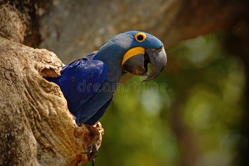 Stora blått mekaniskt säga efter Hyacinth Macaw, den Anodorhynchus hyacinthinusen, i trädredehål, Pantanal, Brasilien, Sydamerika arkivfoto