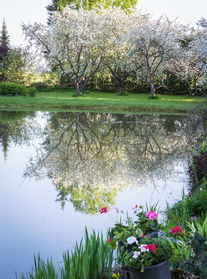 Stora blomma äppleträd med en reflexion arkivbild