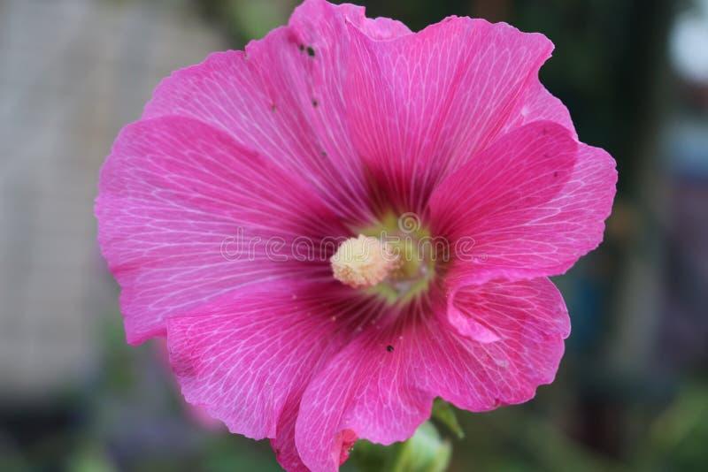 Stora blommor av den rosa malvan dekorerar trädgårdar och borggårdar av hus royaltyfri fotografi
