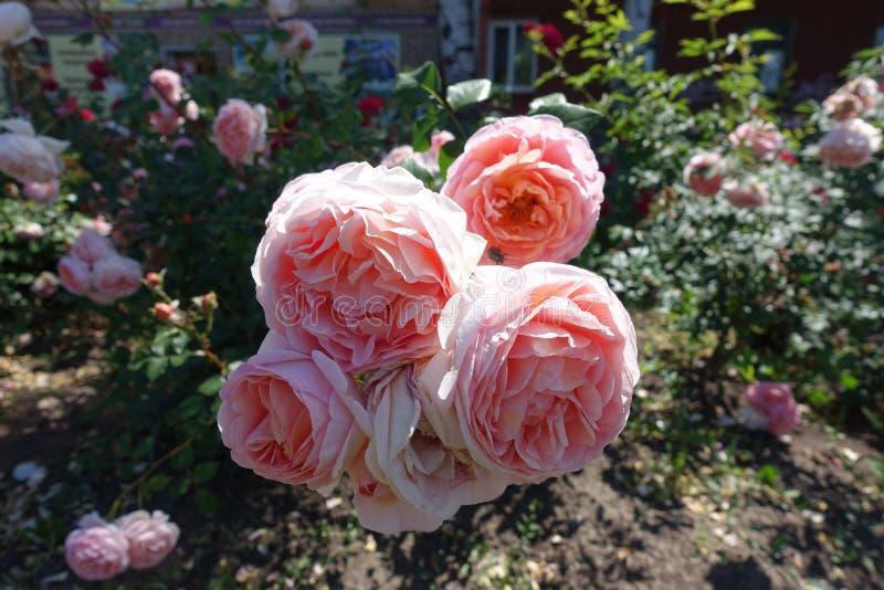 Stora blommor av den rosa rosen royaltyfria foton