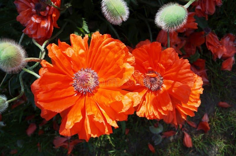 Stora blommor av röda vallmo arkivbild