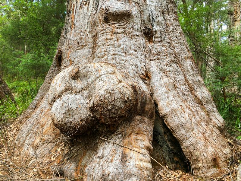 Stora burls på rött sticker trädet på den Walpole-Nornalup nationalparken, royaltyfri foto