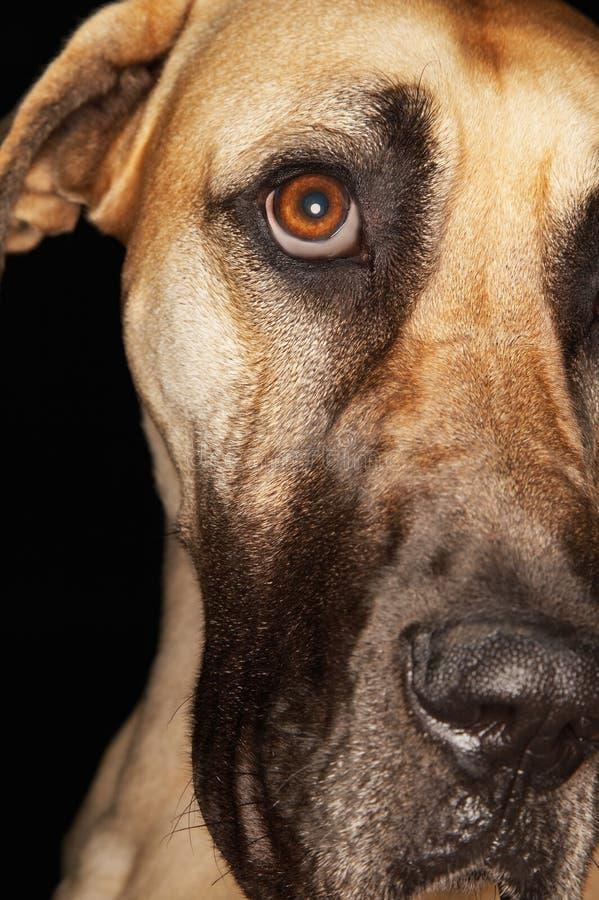 Stora Dane Dog royaltyfria foton