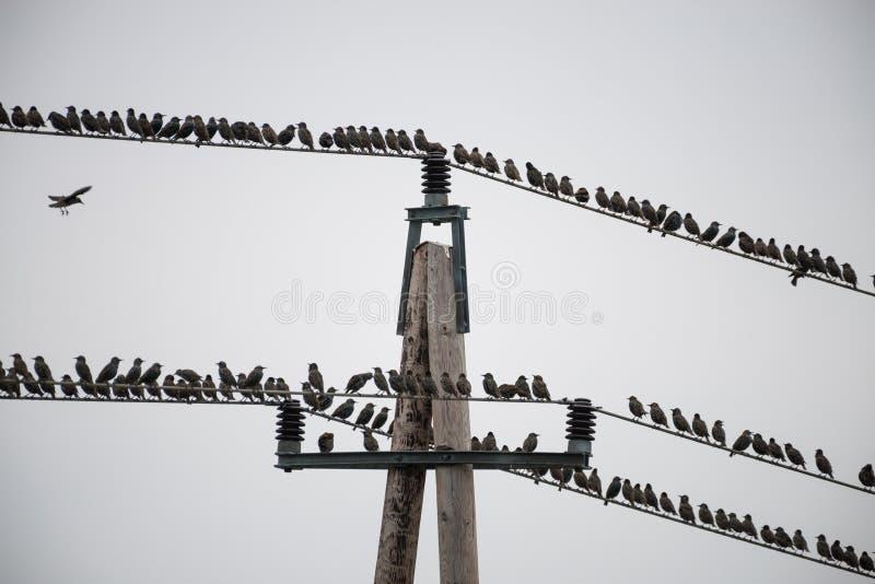 Stora flockar av att sitta för stare royaltyfri bild