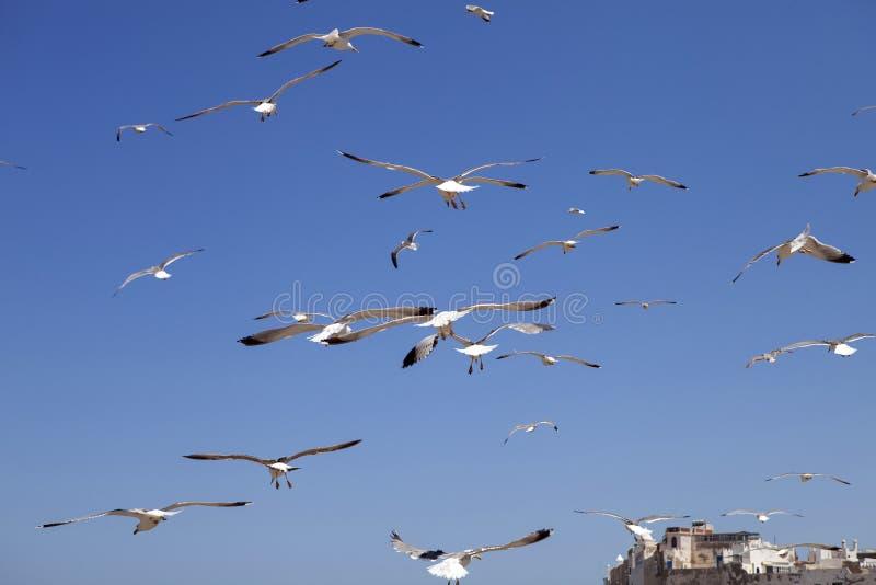 Stora flockar av denlade benen på ryggen fiskmåsen, Larusmichahellis, Essaouira, Marocko arkivbilder