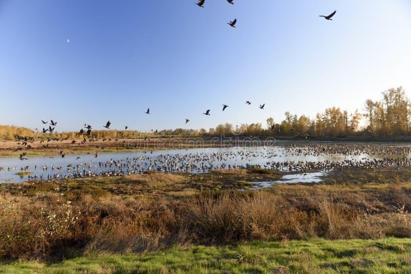 Stora flockar av kanadensisk gäss som vilar och arrangerar under deras årliga Autumn Migration royaltyfria bilder
