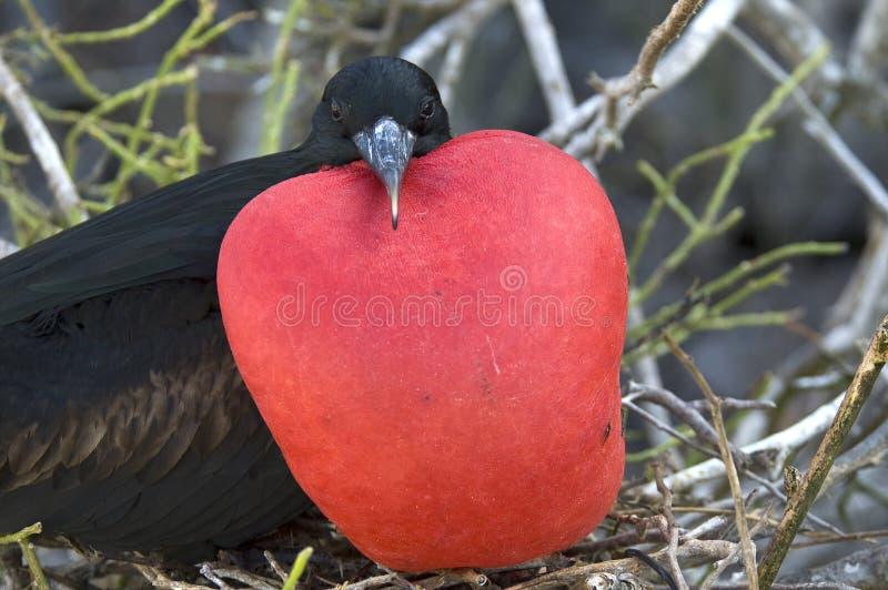 Stora Frigatebird, Grote Fregatvogel, Fregataminderårig royaltyfri foto