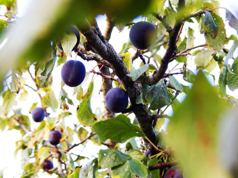 Stora frukter av plommonet på trädet arkivbild