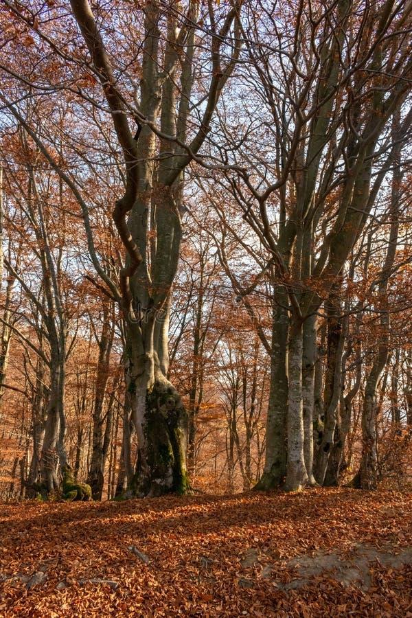 Stora gamla bokträdträd i hösten parkerar Röda sidor som ligger på jordningen arkivfoto