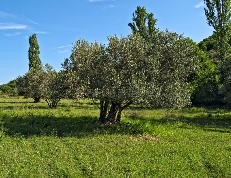 Stora gamla olivträd på ängen, Dalmatia royaltyfri foto