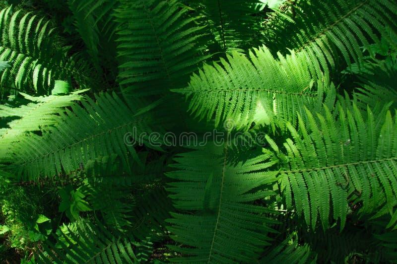 Stora gröna sidor av ormbunken i skognärbilden fotografering för bildbyråer
