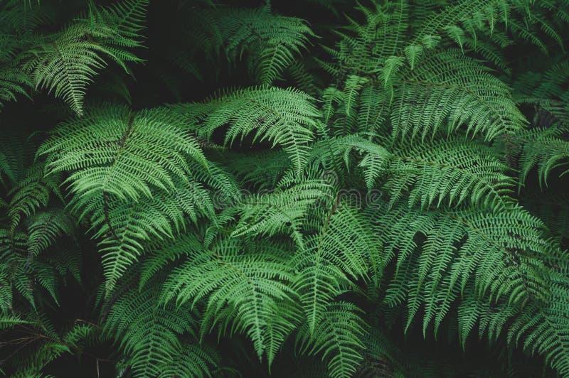 Stora gröna sidor av skogormbunken arkivbilder