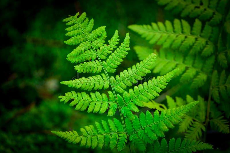 Stora gröna sidor för en ormbunke framtill av planet royaltyfria bilder