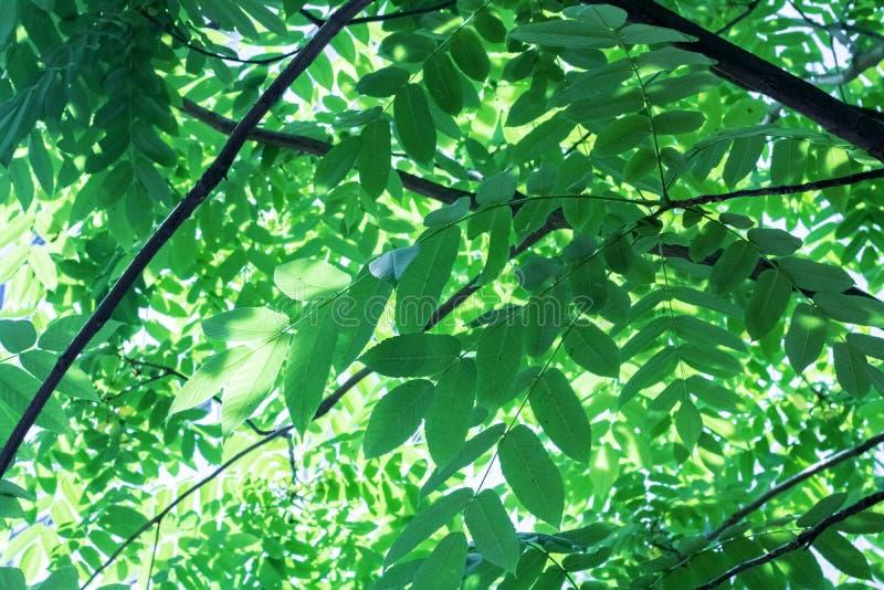 Stora gröna sidor på trädfilialer tätt upp royaltyfri foto