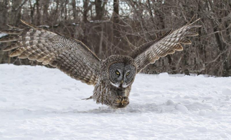 Stora Gray Owl i flykten arkivbilder