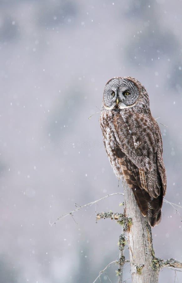 Stora Gray Owl Perched On en trädstubbe, medan snö faller lätt arkivfoto