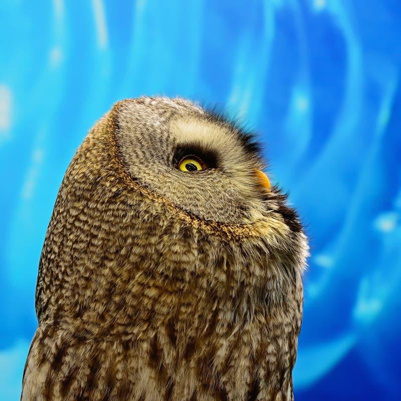 Stora Grey Owl royaltyfria bilder