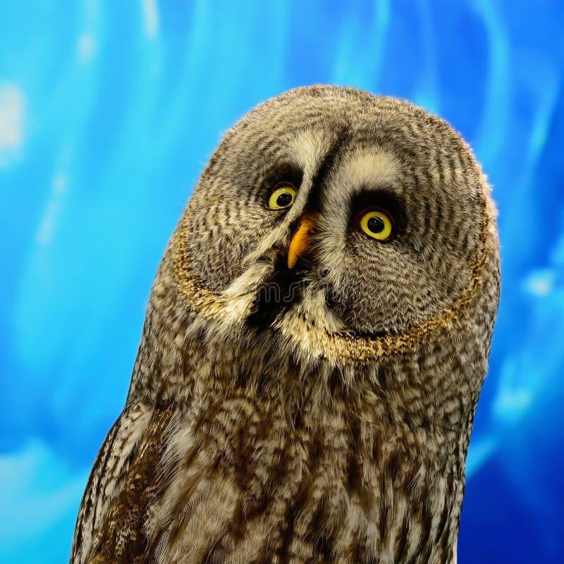 Stora Grey Owl royaltyfri fotografi